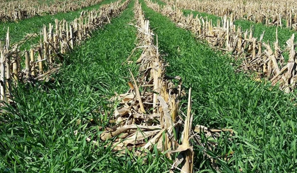 CoverCrop In Corn